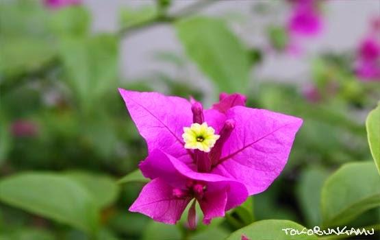 Superestu laporan praktikum botani dan sistematika tanaman superestu laporan praktikum botani dan sistematika tanaman morfologi bunga ccuart Images