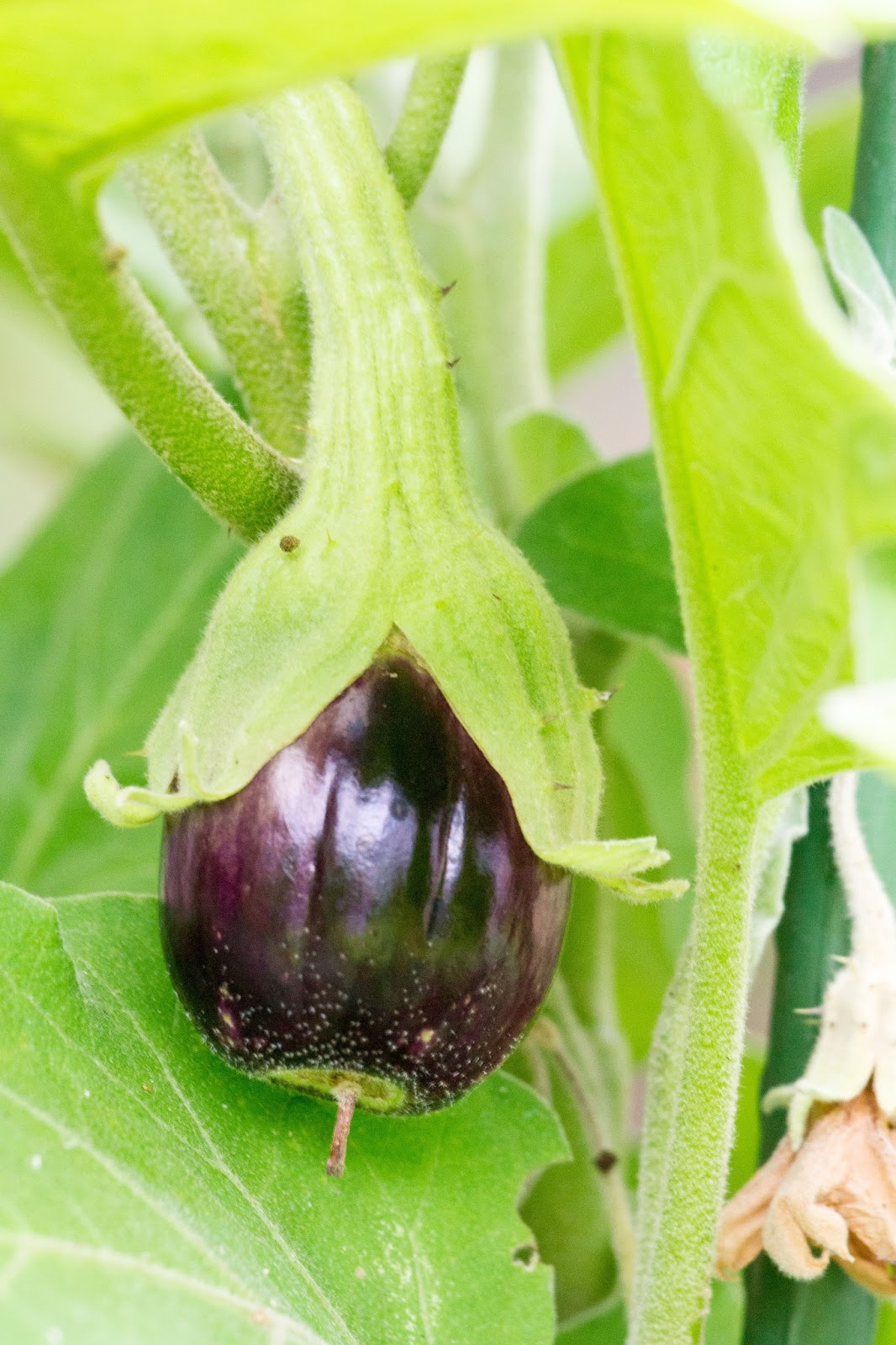 Eggplant on a plant