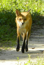 Red Fox May 1, 2011 Evinston, Fl