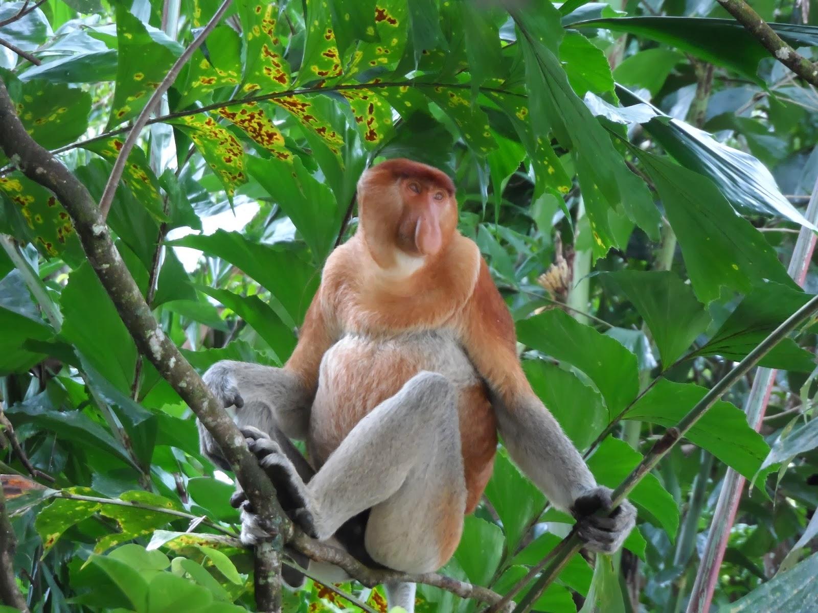 Proboscis Monkey Bako Borneo