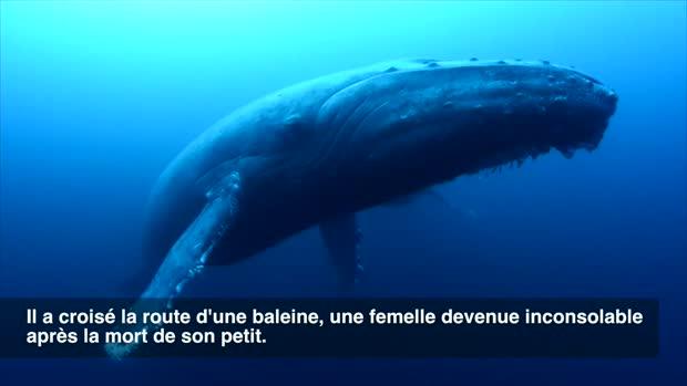 Dans l'océan pacifique au large de l'île Roca Partida (Mexique), des plongeurs ont assisté à une scène bien triste. La baleine à bosse à gauche est une femelle adulte, celle à droite est un mâle.