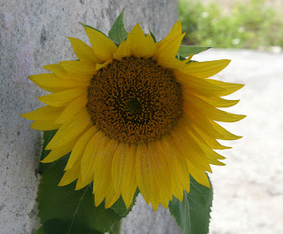 Sunflower blooming nicely