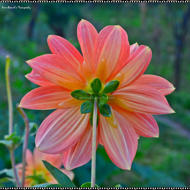 Backside Beauty, Light Pink, Flower, Center,