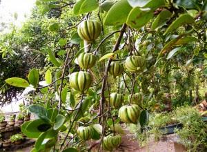Garcinia Cambogia, pianta che ritroviamo nel Vietnam, Cambogia, ecc.