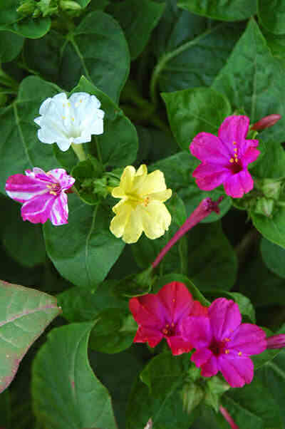 Sandhya 4 o clock 4 o clock fregrant flowers 4 o clock fregrant flowers mirabilis jalapa is a perennial flowering plant from the most commonly grown ornamental species mirabilis mightylinksfo