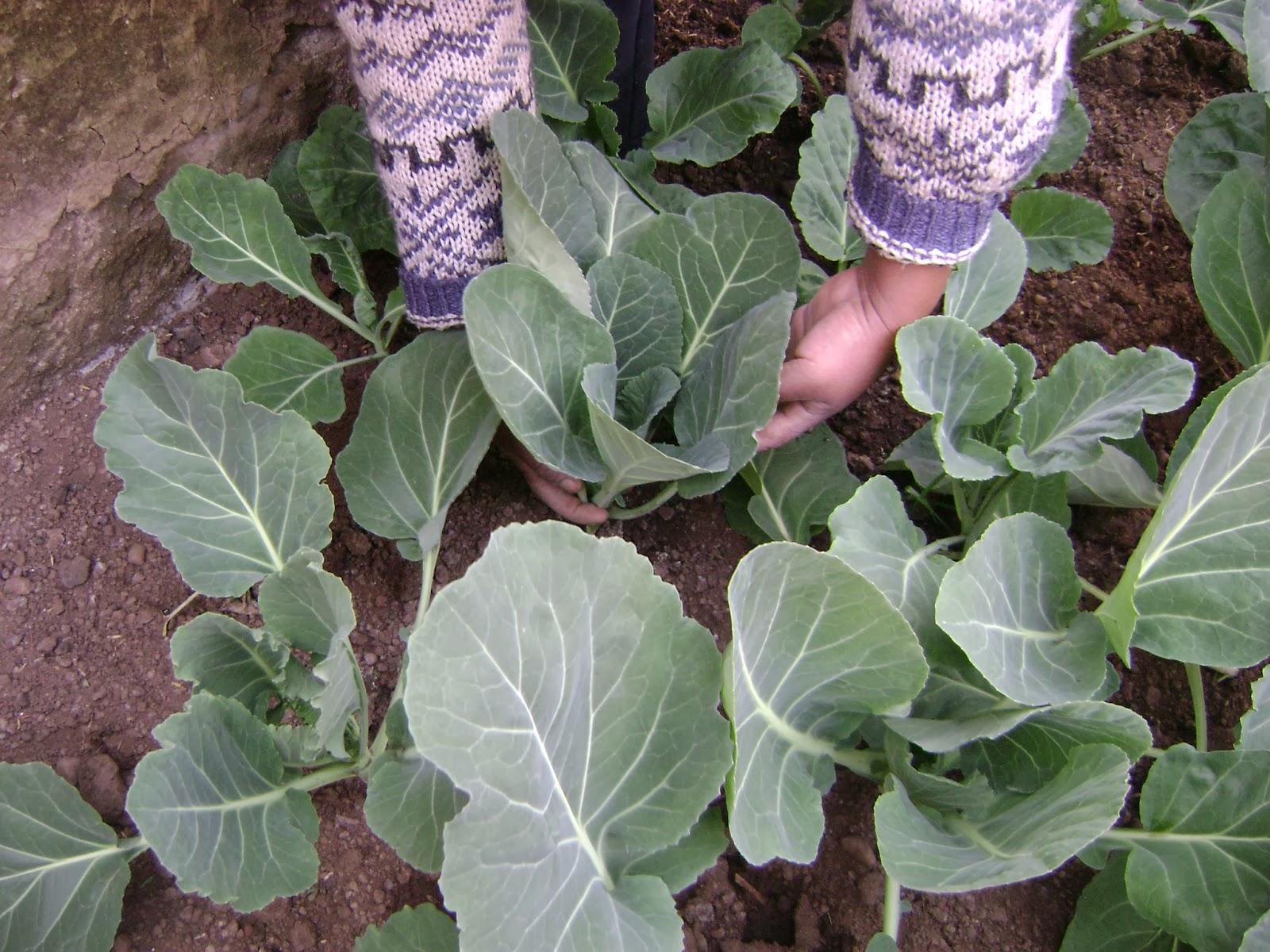 Agricultura urbana en el alto manual producci n de for En cuanto tiempo se cosecha la tilapia