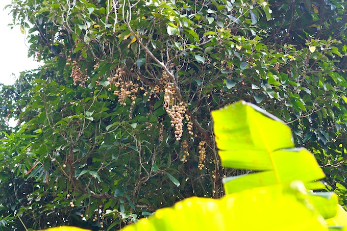 langsat hanging from tree