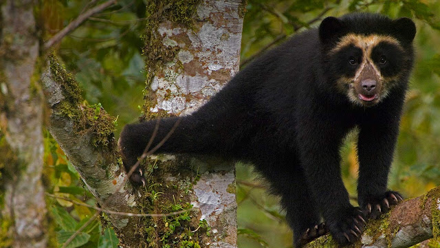 A spectacled bear cub in Maquipucuna Cloudforest Reserve, Ecuador (© Pete Oxford/Minden Pictures) 678