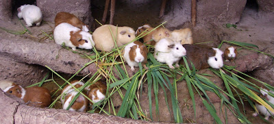 http://upload.wikimedia.org/wikipedia/commons/2/25/Peru_Guinea_Pigs.jpg