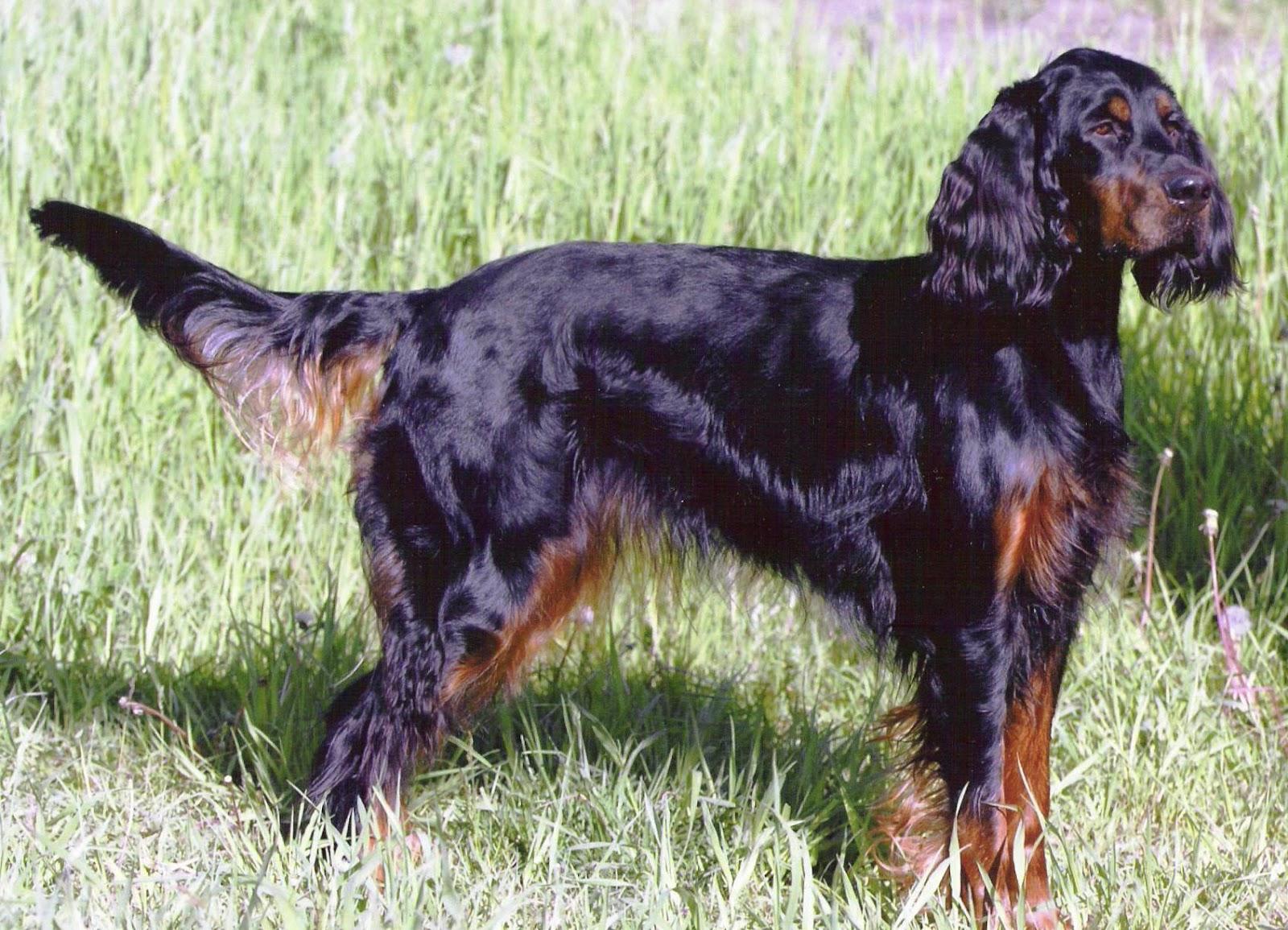 Gordon Setter Dog Pictures