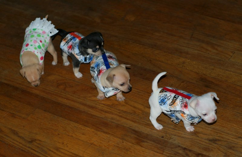 The Charming Chi Wordless Wednesday Chihuahuas Are 4 Weeks Old And