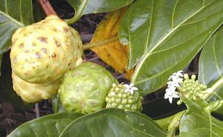 Noni fruit can cure some diseases