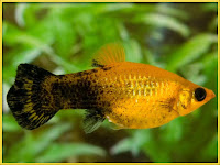 Molly Fish Pictures Poecilia sphenops