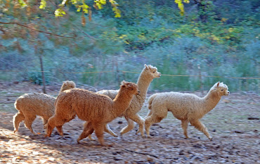 Alpacas at Northcutt Ranch