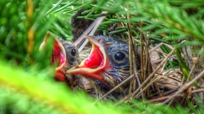 Song Sparrow Babies in Nest