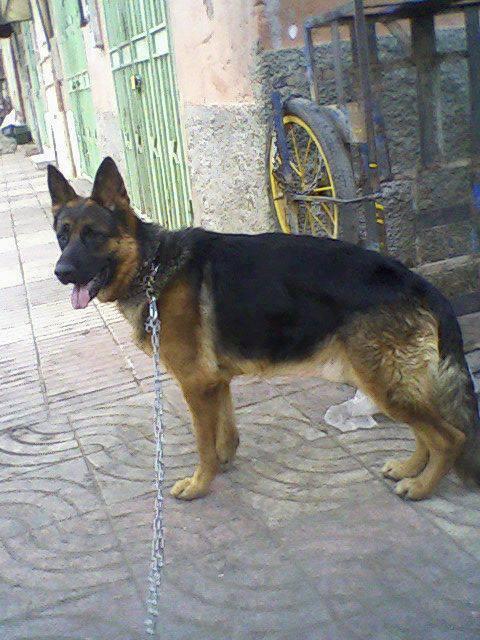 Maître-chien Marrakech: Acheter, Vendre et dresser son