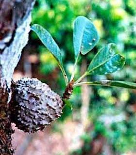 sarang-semut-myrmecodia-tuberosa.jpg