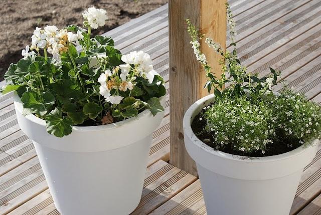 pelargonia, harsokukka, lehtikuusi, valkoinen ruukku, minimalistinen puutarha