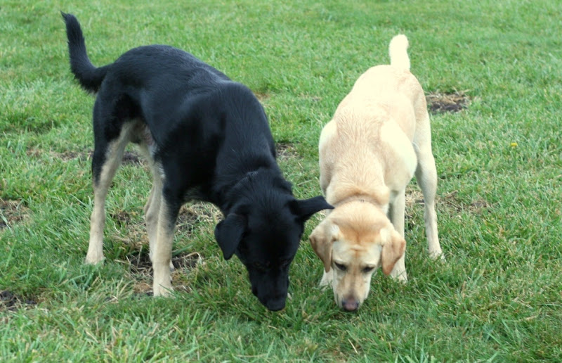 both dogs with their heads down and close together, sniffing the same spot of grass