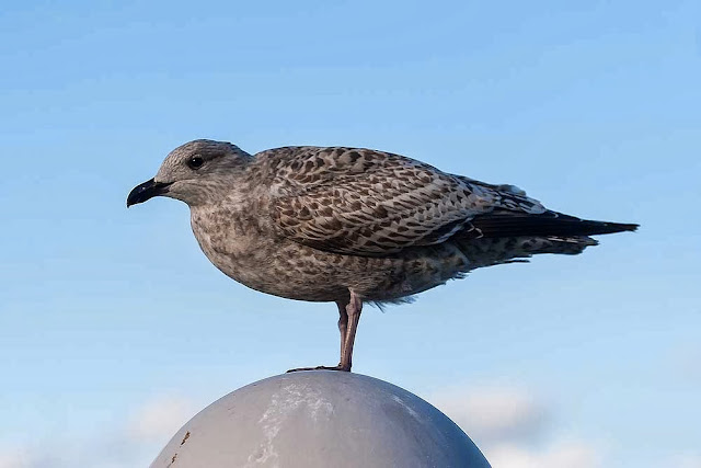 Young Herring Gull on Lamp Post