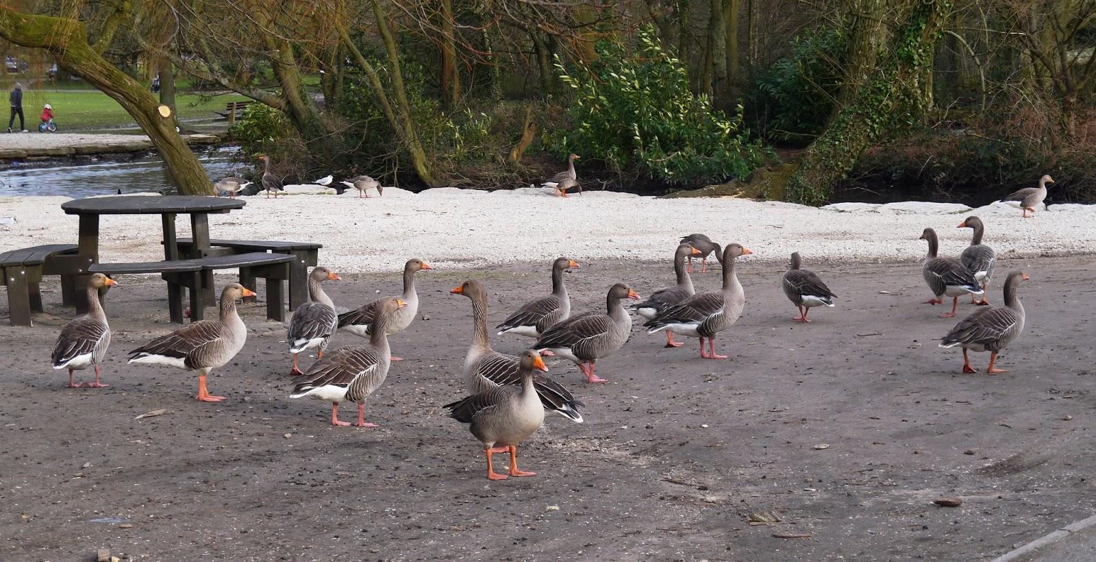 Poole Park ducks