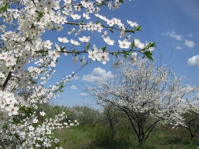 сочинение тему чехов вишн вый сад