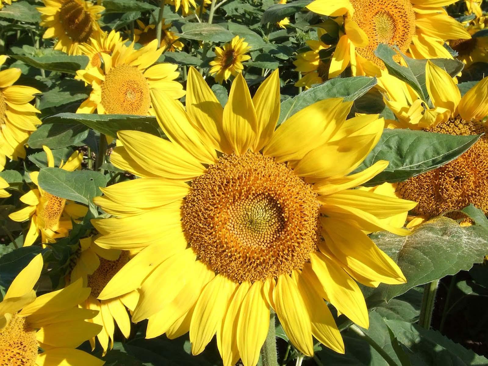 HD Wallpapers: Sunflower Beautiful Wallpapers