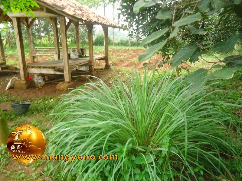 Rumpun tanaman sereh / serai di kebun admin
