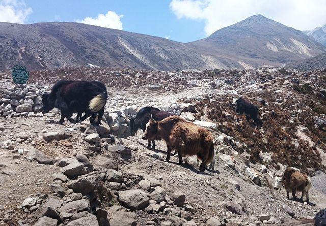 Yaks-Lobuche-Himalaya