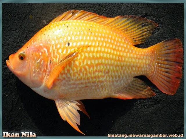 gambar ikan mujaer nila merah