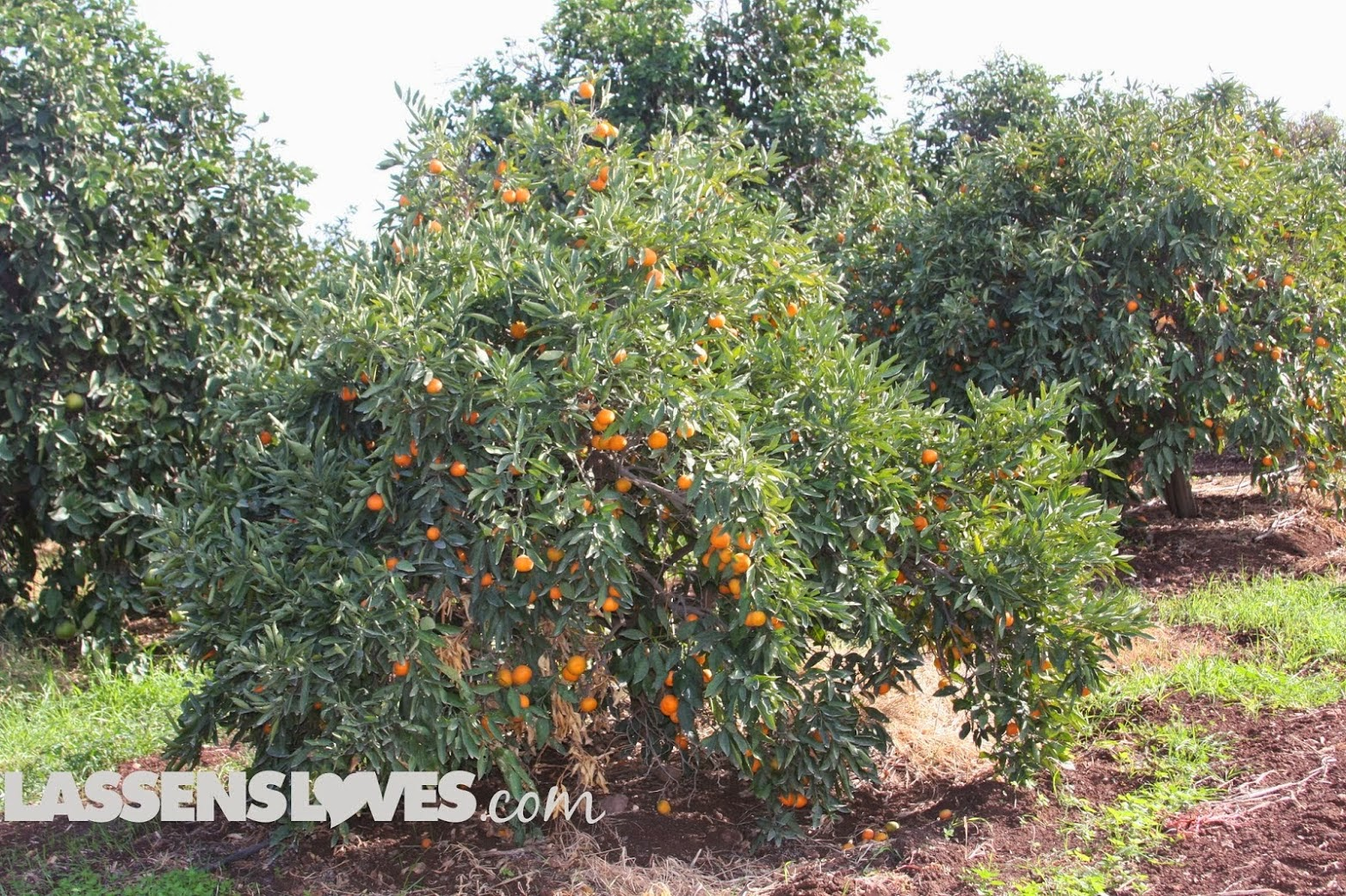 buck+brands+citrus, organic+citrus