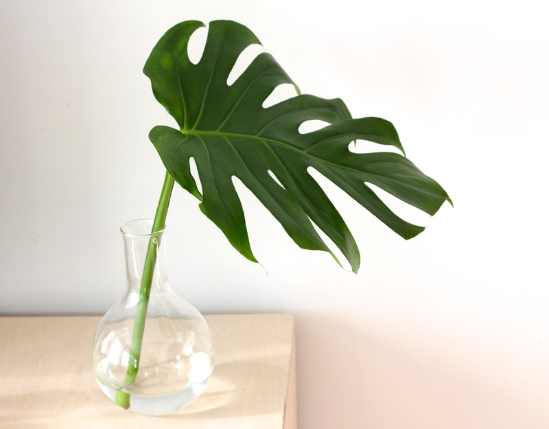 MONSTERA LEHTI