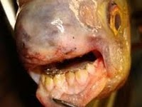 Heboh Spesies Ikan Bergigi Manusia....Ditemukan