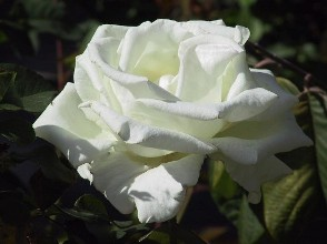 How To Cultivate Rose Plants