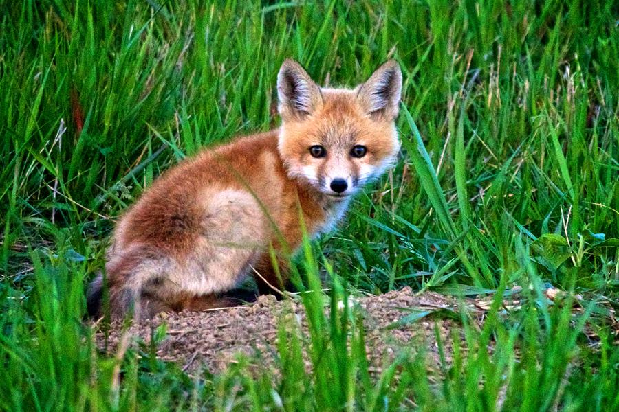 christian begeman a cute little fox