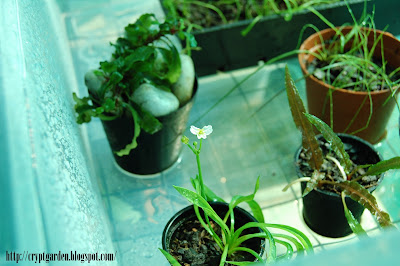 Echinodorus angustifolia var. vesuvius