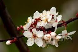 A flor da ameixieira...