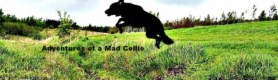 The Tail of Two Collies