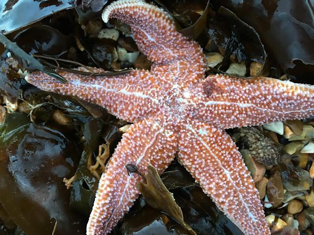 starfish on Southsea beach, portsmouth