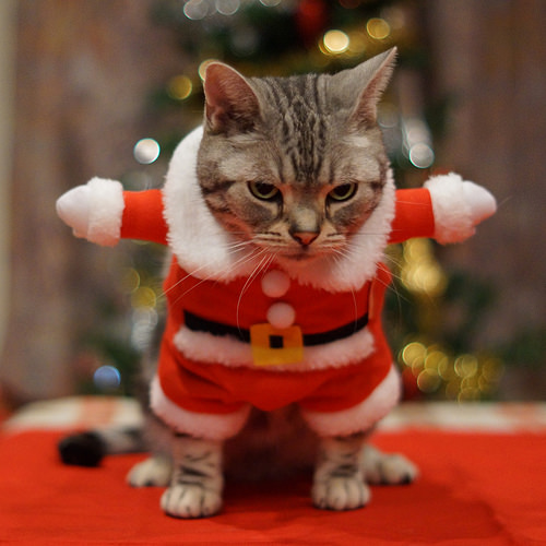 I think this cute little santa cat not enjoying so much