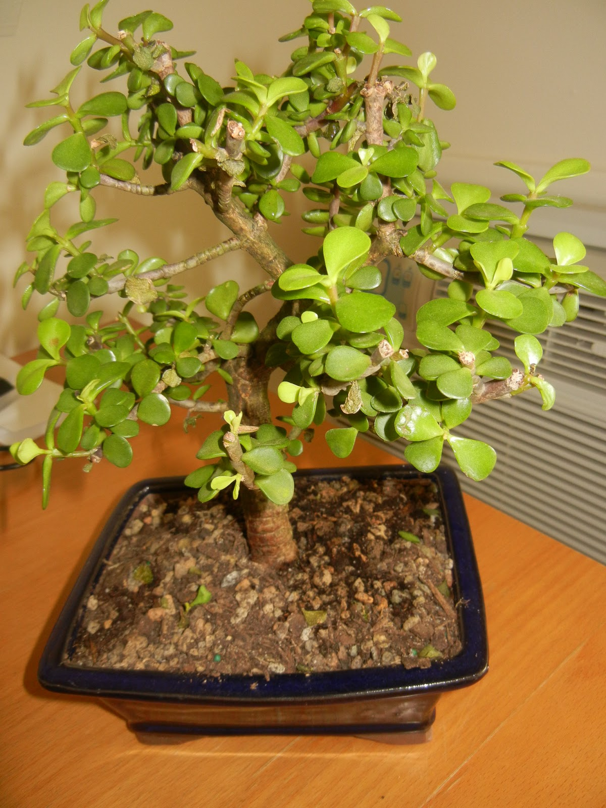 Freebies In Mailbox Dwarf Jade Indoor Bonsai Tree From The