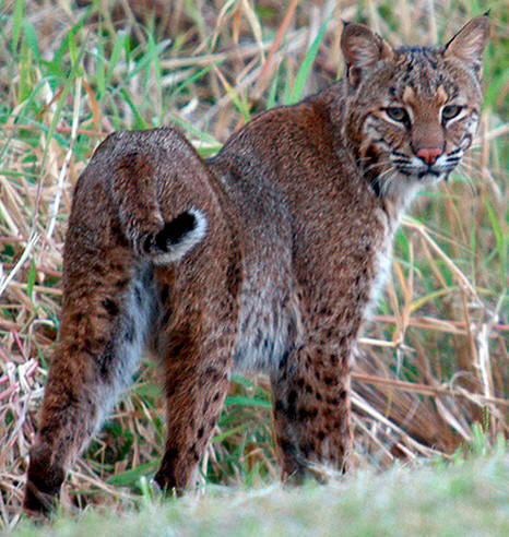 How To Get A Lynx Cat In California