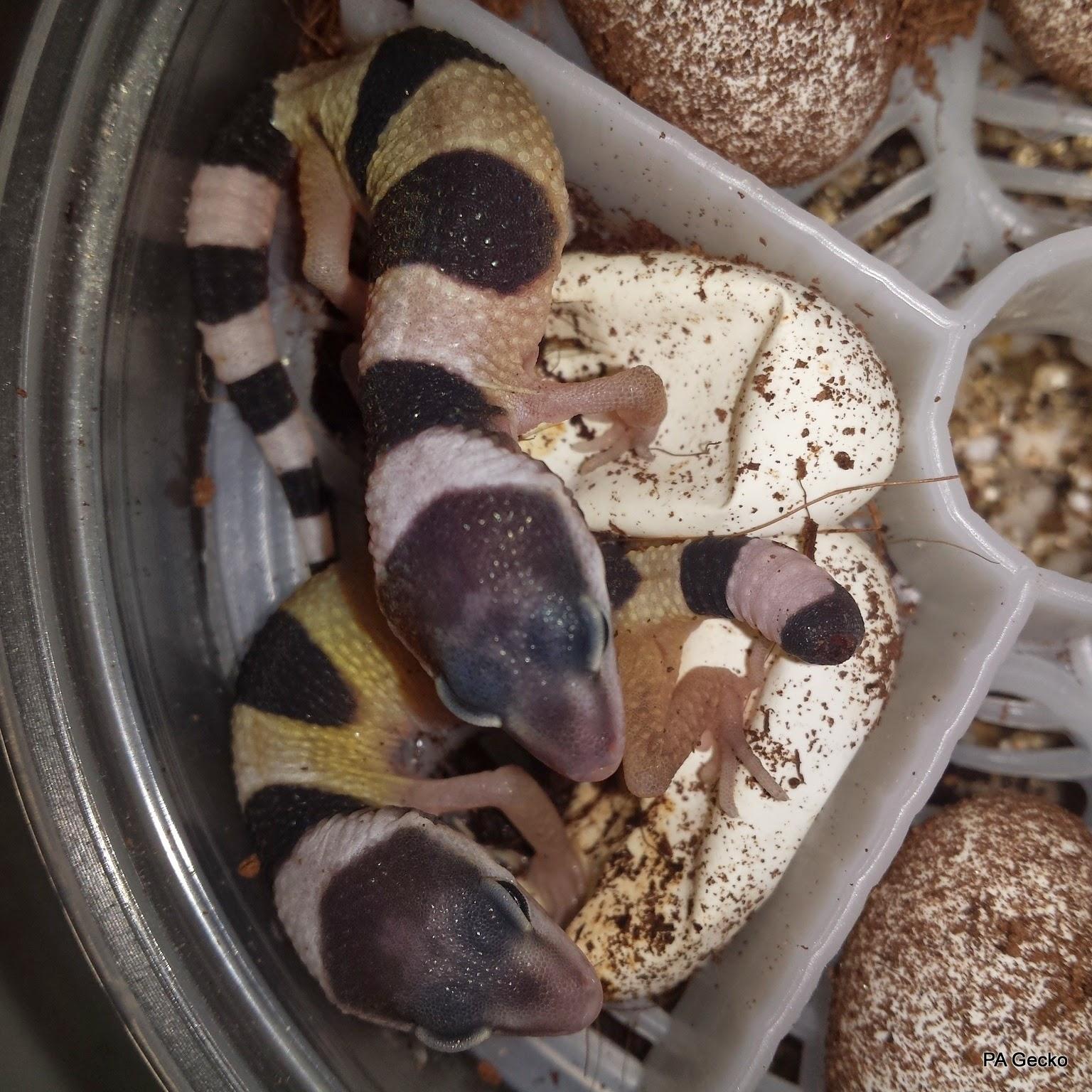 PA-Gecko-Fasciolatus
