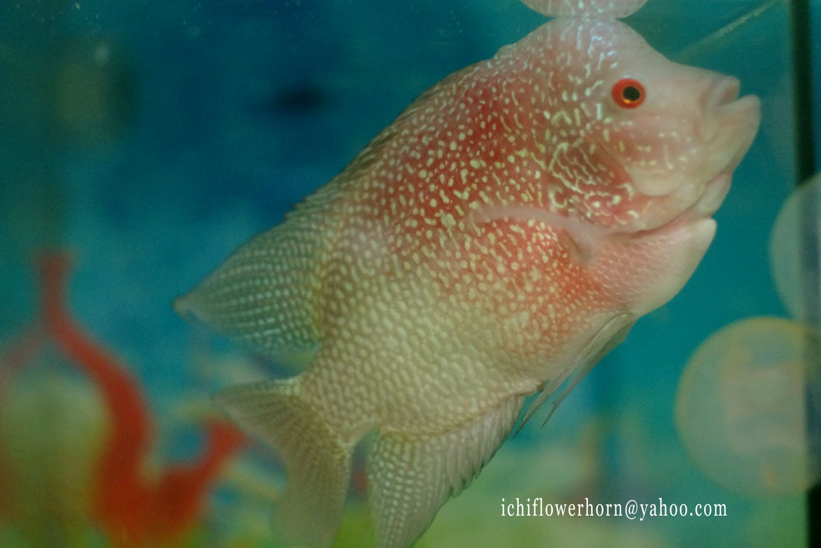 flowerhorn breeding hybrid - HD 1600×1068