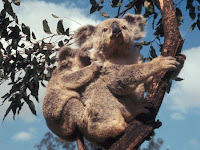 Koala images Phascolarctos cinereus
