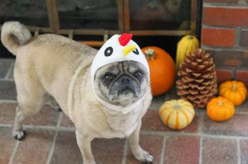 pug wearing a chicken hat