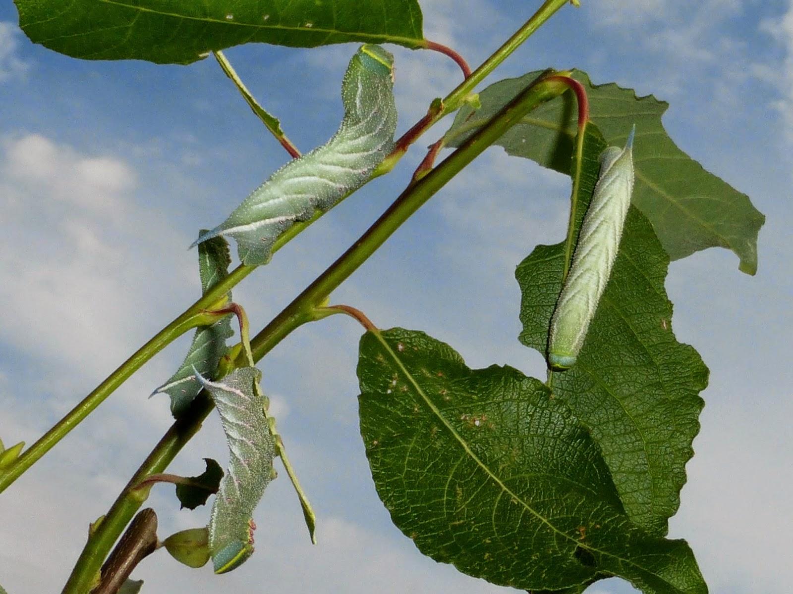Smerinthus ocellata caterpillar L4