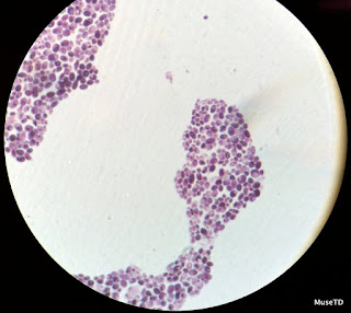 Brewers Yeast Microscope MICROBIOLOGY SLIDE SPE...
