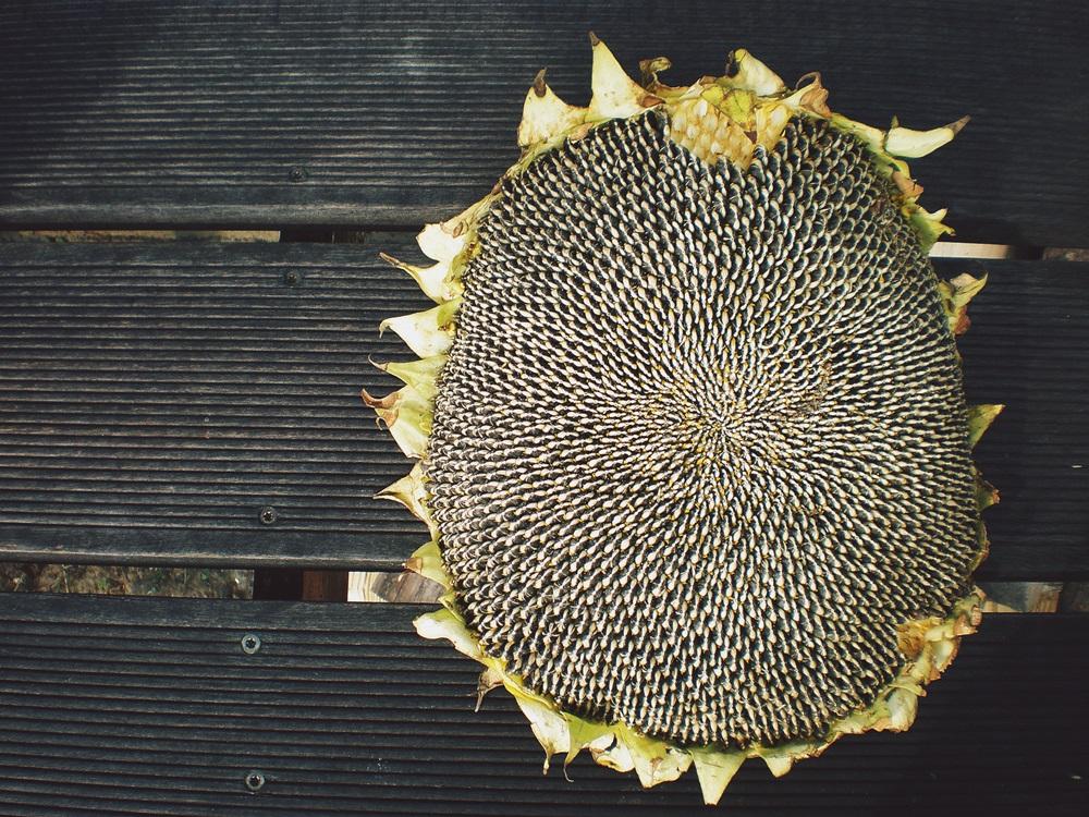 słonecznik, stół
