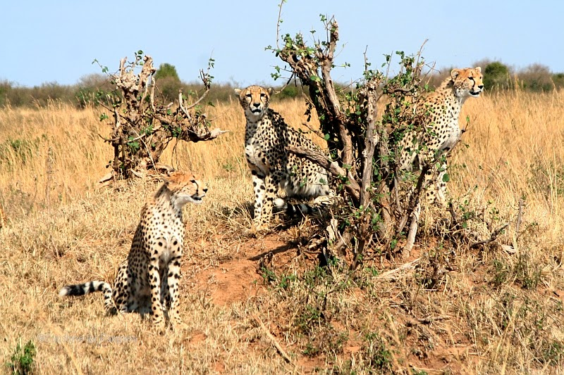 a group of Cheetahs in the Massai Mara